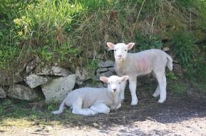 IMG_9955_lambs